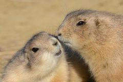 Prairie Dogs in love Royalty Free Stock Images