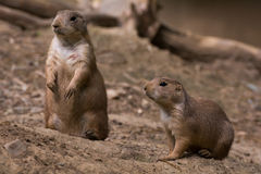 Prairie Dogs. Medium shot of two prairie dogs in the dirt Stock Photos