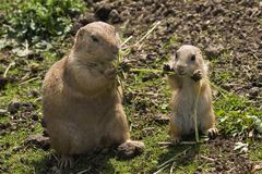 Prairie dogs - mother and baby Royalty Free Stock Images