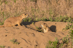 Prairie Dogs Stock Photography