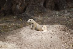Prairie dogs peeping from burrow. A couple of prairie dogs coming out of the burrow, one of them watching and the second observing him stock photography