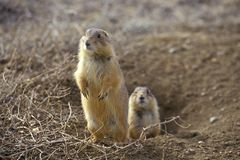 Prairie dogs, Prairie Dog Town, State Monument, Greycliff, MT Stock Photos