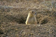 Prairie dogs, Prairie Dog Town, State Monument, Greycliff, MT Royalty Free Stock Photography
