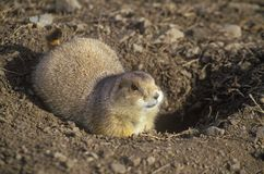 Prairie dogs, Prairie Dog Town, State Monument, Greycliff, MT Royalty Free Stock Photos
