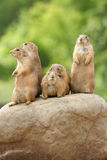 Prairie dogs on rock Royalty Free Stock Photo
