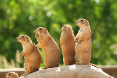 Prairie dogs on rock Royalty Free Stock Photography