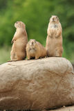 Prairie dogs on rock Royalty Free Stock Image