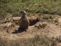 Prairie dogs saying, Peter, quit crying wolf Stock Images