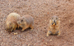 Prairie Dogs Snack Time Royalty Free Stock Image