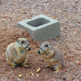 Prairie Dogs Snack Time Stock Photos