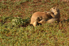Prairie Dogs Snuggling. A pair of Black-tailed Prairie Dogs wrestling and snuggling Stock Images