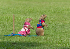 Prairie dogs standing on field in summer Royalty Free Stock Photo