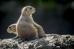 Prairie dogs together Stock Photo