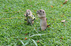 Prairie dogs. Two of Prairie dogs are eating the grass Royalty Free Stock Photos