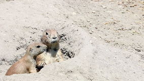 Prairie dogs. Two prairie dogs in hole stock video