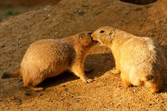 Prairie dogs. Two prairie dogs play together royalty free stock photo