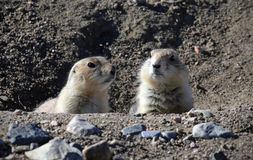 Prairie Dogs Royalty Free Stock Images
