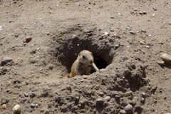 Prairie Dogs V. Young prairie dog emerging from the burrow Royalty Free Stock Image
