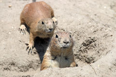 Prairie dogs watching from hole Stock Photos