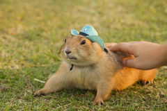 Prairie dogs wearing blue hat Stock Image