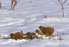 Prairie Dogs in Winter Royalty Free Stock Photography