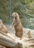 Prairie dogs in the zoo Stock Images