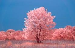 Prairie et grand arbre simple dans l'infrarouge de couleur Image stock