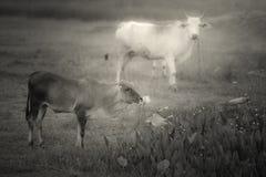 Prairie et vaches Images libres de droits