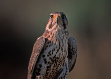 Prairie falcon. Portrait in vertical format Stock Photography