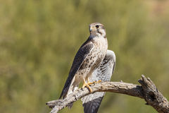 Prairie Falcon on Branch Royalty Free Stock Image