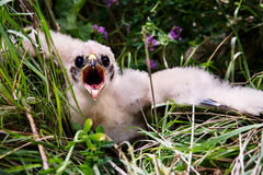 Prairie Falcon Chick Royalty Free Stock Photos