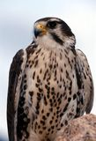 Prairie Falcon (Falco mexicanus). Close-up image of a Prairie Falcon perched on a rock Stock Photos