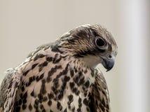 Prairie Falcon Falco Mexicanus closeup Royalty Free Stock Photos