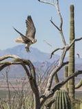 Prairie Falcon Falco mexicanus Stock Image