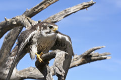 A Prairie Falcon Against a Blue Sky Stock Photography