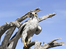 A Prairie Falcon Against a Blue Sky Stock Photos