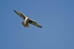 Prairie Falcon Flying in Blue Sky Stock Photos