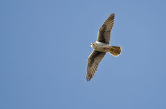 Prairie Falcon Flying in a Blue Sky Royalty Free Stock Photography