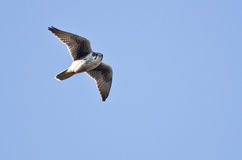 Prairie Falcon Flying in a Blue Sky Stock Image