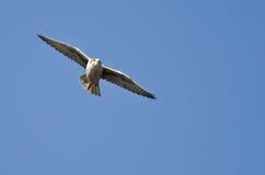 Prairie Falcon Flying in a Blue Sky Stock Photos
