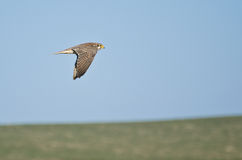 Prairie Falcon Flying Over a Field Royalty Free Stock Photos
