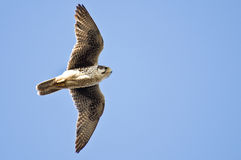 Prairie Falcon Hunting on the Wing Royalty Free Stock Images