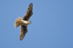 Prairie Falcon Hunting on the Wing Stock Photo