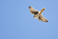 Prairie Falcon Hunting on the Wing Royalty Free Stock Photo