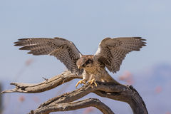 Prairie Falcon Landing Royalty Free Stock Photo