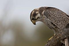 Prairie Falcon Looks Down Royalty Free Stock Image