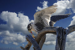 Prairie Falcon Stock Images