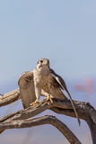 Prairie Falcon Perched on Branch Stock Images