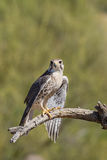 Prairie Falcon Royalty Free Stock Photos