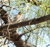 A Prairie Falcon perched in tree Royalty Free Stock Images